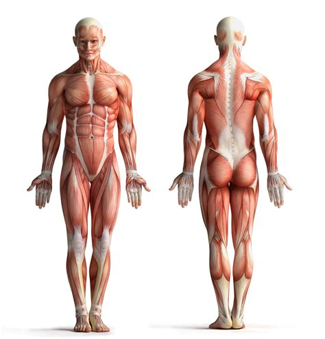 imagenes no realistas del cuerpo humano fascial manipulation 174 manual therapy courses hands on