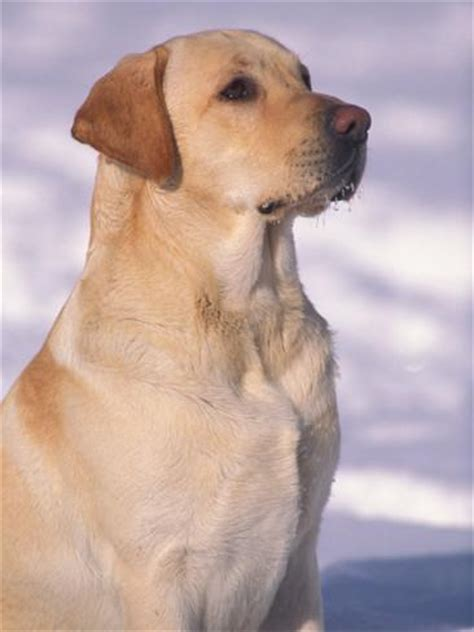 lab puppies indiana labrador retriever portrait in snow photographic print by adriano bacchella at