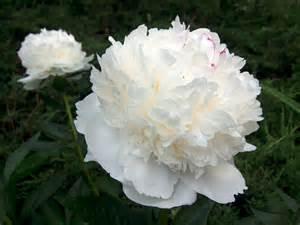 White Peony Flower - white peony plant viewing gallery