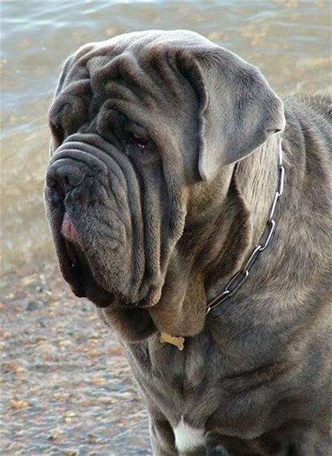 ugliest breed best 25 dogs ideas on breeds pictures and