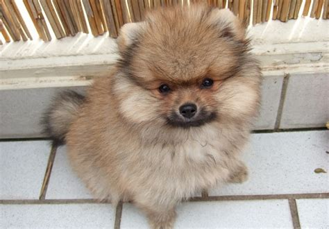 how big is a teacup pomeranian teacup pomeranian miniature pomeranian information