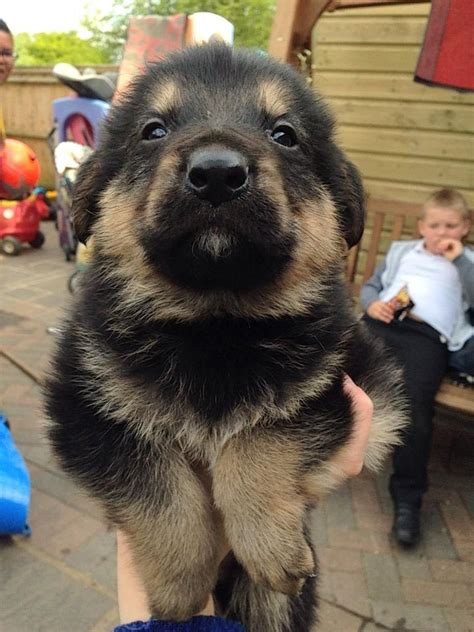 German Shepherd Puppies For Sale Godalming Surrey Pets4homes