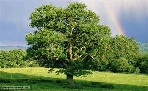 tree biography in english bbc nature english oak videos news and facts