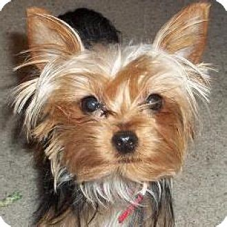 yorkie rescue wi sheboygan wi yorkie terrier meet pippi a puppy for adoption