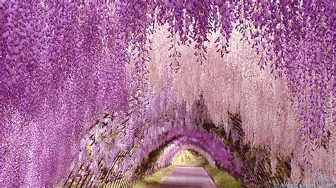 flower tunnel japan wisteria wallpapers wallpaper cave