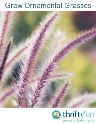 how to grow ornamental grasses thriftyfun