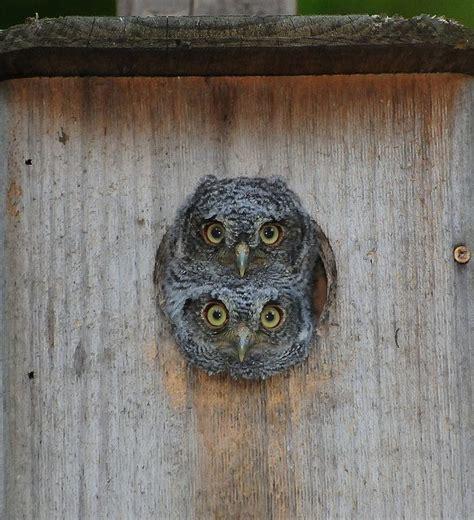 eastern screech owl eastern screech owl house plans http