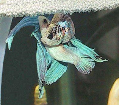 cara membuat makanan anak ikan laga ikan laga dan cara penjagaan zikri husaini