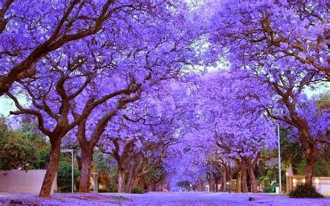 the prettiest tree in the world most beautiful trees in the world travels and living