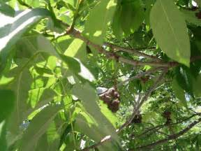 Ash tree pictures 1 ash tree pictures 2 ash tree types and