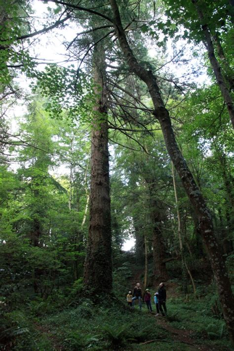Tree Netting Ireland by Ireland S Tallest Tree Discovered At Powerscourt