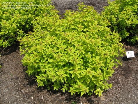 color me mine flower mound plantfiles pictures japanese spirea japanese meadowsweet