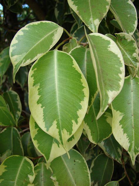 Ficus Benjamin Cura by Ficus Benjiamina O Benjiamin O Beniamino Consigli