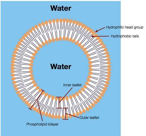 membrane diagram membranes