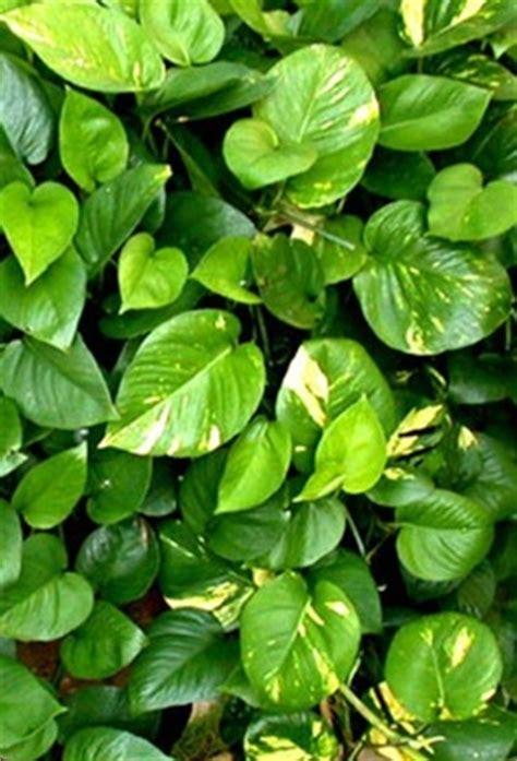 Tanaman Sirih Gading Pohon Sirih Gading abc nama flora fauna haiwan tumbuhan gambar forum cari infonet