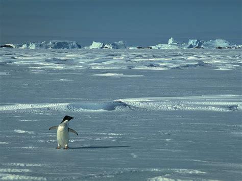 Un Pingouin Sur La Banquise by La Reproduction Des Pingouins