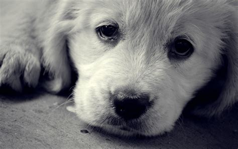 imagenes de tristeza en hd cachorro triste fondos de pantalla cachorro triste fotos