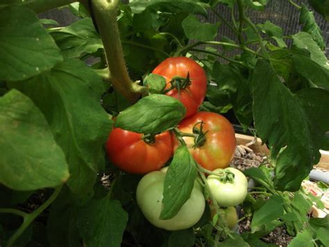 planning a vegetable garden for beginners planting a vegetable garden for beginners how when and