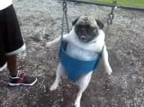 stuck pug pug puppy gets stuck in swing image search results