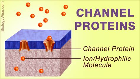 protein channel a between carrier proteins vs channel proteins