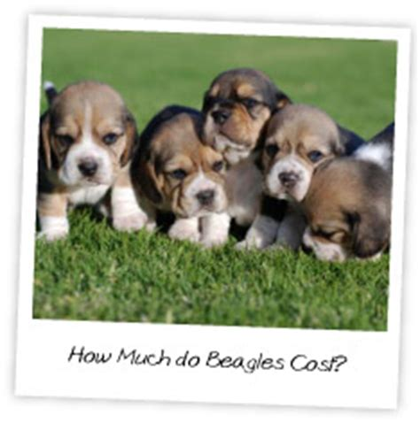 how much does a beagle puppy cost we beagles the ultimate guide to beagles 187 archive how much do beagles
