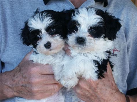 havanese dogs for sale in havanese puppies for sale