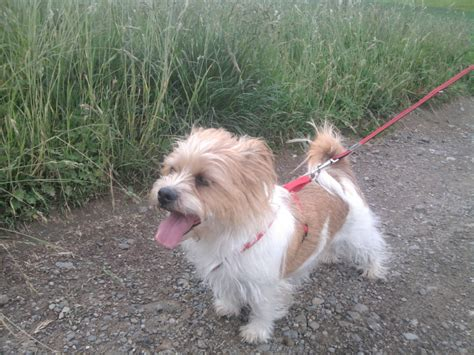 border terrier and shih tzu mix lucky bearded collie dalmatiner terrier mischling mix quotes