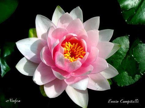 ninfea fiore ninfea foto immagini natura macro fiori e piante