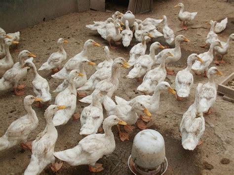Bibit Bebek Sekarang okdogi komunitas pecinta binatang dan hewan peliharaan