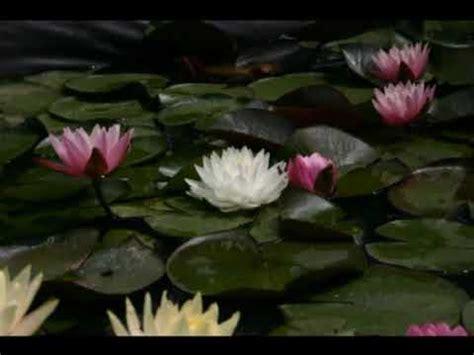 cerco immagini di fiori piante d acqua immagini ninfee e fiori di loto