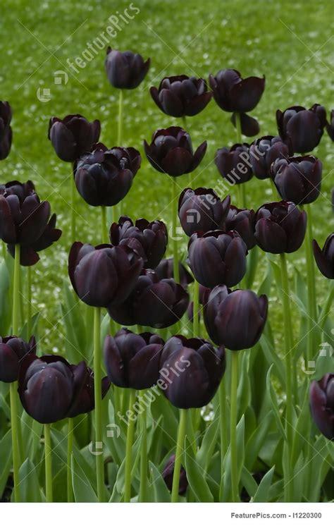 black images black tulips image