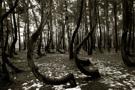 the crooked forest of gryfino poland travel trip journey crooked forest gryfino poland