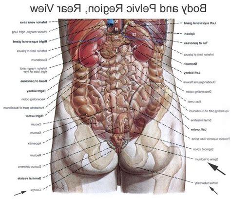 diagram of human organs organs of the back view anatomy organ