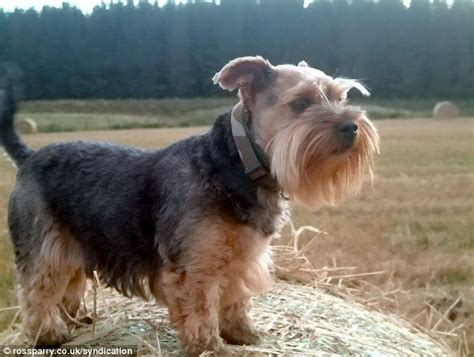 yorkie breeder korean zoo unveils its beasts terriers daily mail