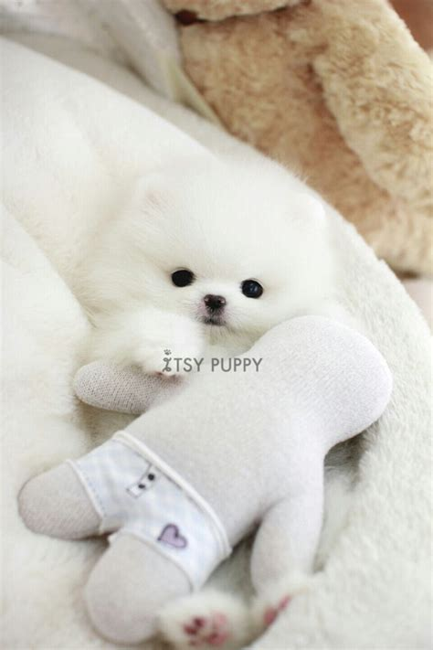 micro teacup pomeranian puppies for sale in pa 25 b 228 sta teacup puppies for sale id 233 erna p 229 s 246 ta valpar valpar och