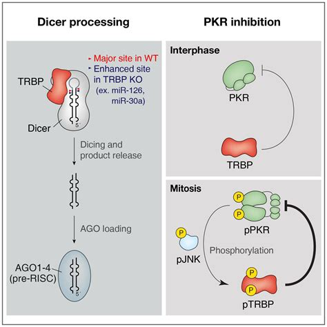 protein kinase a function protein kinase r and dsrnas new regulators of mammalian