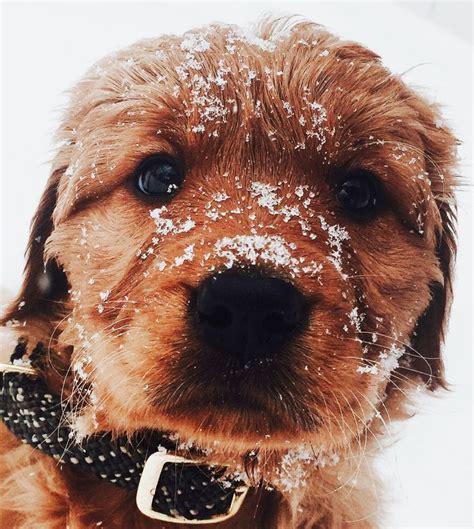 retriever doodle puppies for sale nz the 25 best golden retrievers ideas on