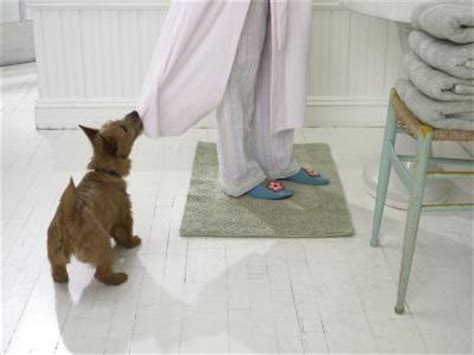 older male dog peeing in house why do some male dogs squat to pee dog care the daily puppy