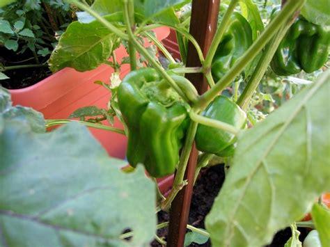 peperoni in vaso coltivare il peperone in vaso orto come coltivare il