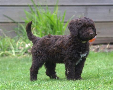 mini bordoodle puppies for sale miniature bordoodle f1b hybrid pup ready now doncaster south pets4homes