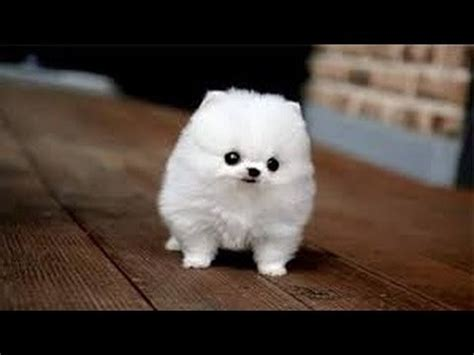 smallest breed in the world small dogs the top smallest breeds in the world dogs just