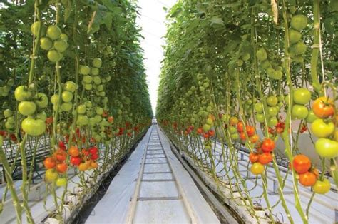 1000  images about Tomato greenhouse on Pinterest