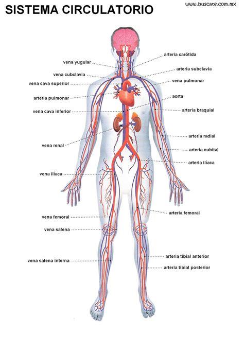 el cuerpo humano que el cuerpo humano sistema circulatorio