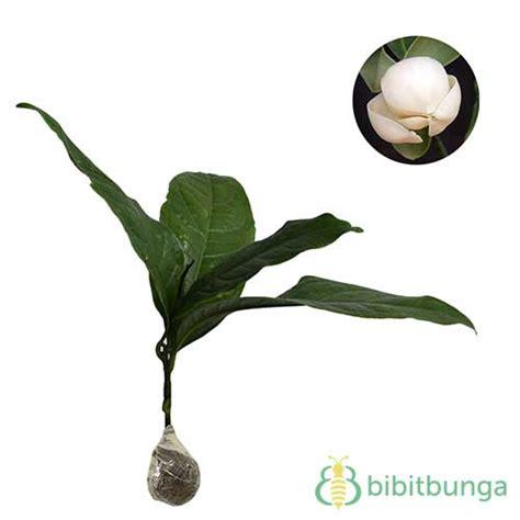 5 Pcs Cempaka Cimpago Putih tanaman cempaka telur putih magnolia coco jual tanaman
