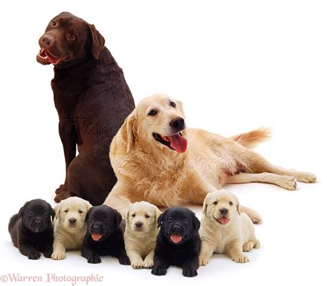 golden retriever and chocolate lab dogs different coloured labrador family photo wp03475