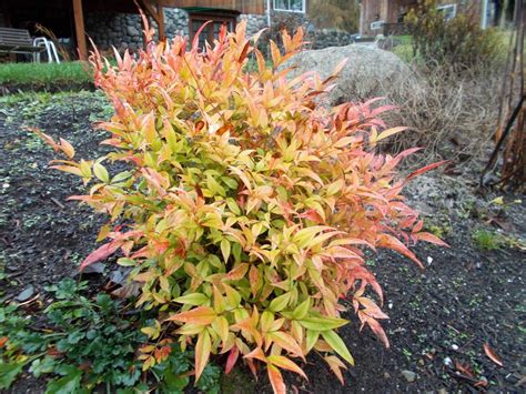 photo of the entire plant of heavenly bamboo nandina domestica moon bay posted by bonehead