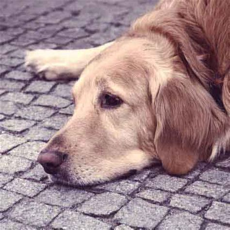 addisons disease in dogs disease dogs petcarerx