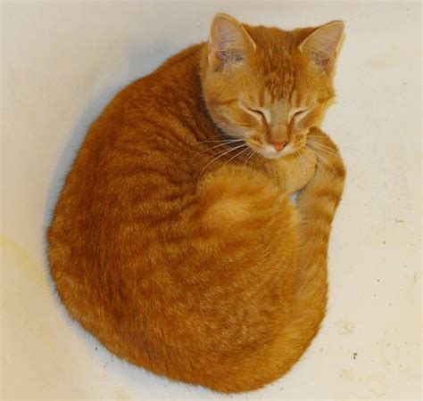Sleeping Orange Cat adorable cat sleeping orange cats