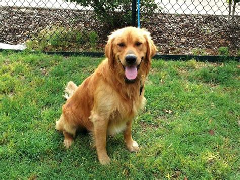 golden retrievers available for adoption pin by golden retriever rescue of grrnt on 2014 adopted