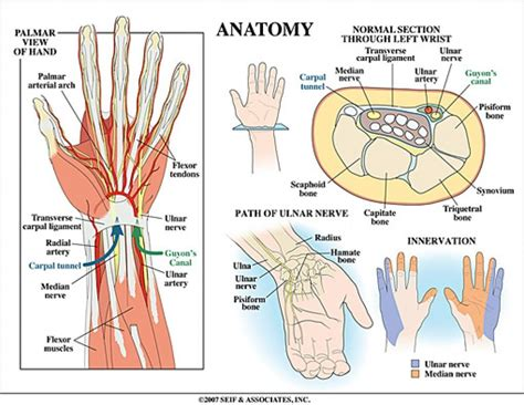 section anatomy human anatomy wrist tendons topographic anatomy normal